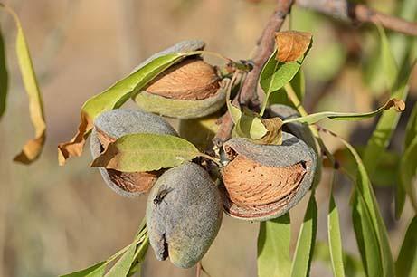 Propiedades saludables de los frutos secos - Almendras