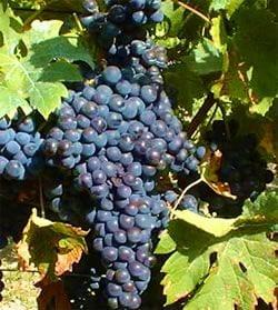 Variedades de uva en España de procedencia europea